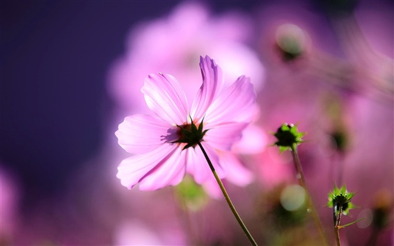 Wallpaper Pink cosmos flower, petals, macro, light