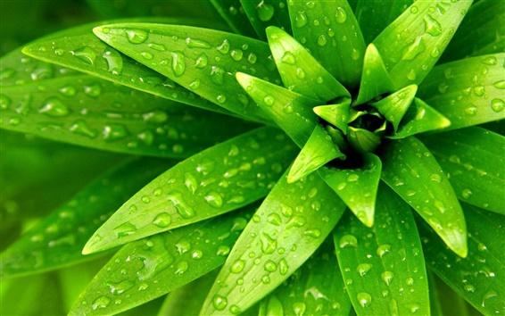 Fondos de pantalla Planta de primer plano, hoja verde, las gotas de agua