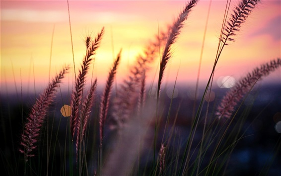 Wallpaper Plant macro photography, sunset, grass, leaves, blur