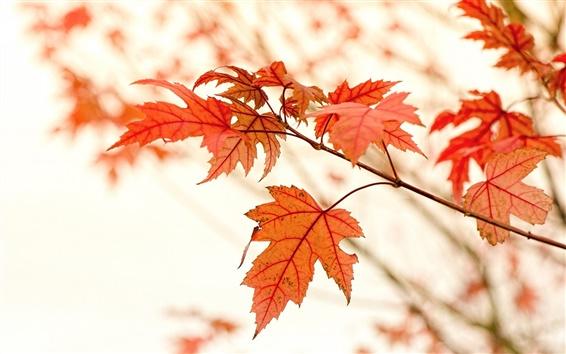 Обои Красные кленовые листья, осень, блики