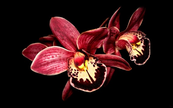 Wallpaper Red orchid, black background
