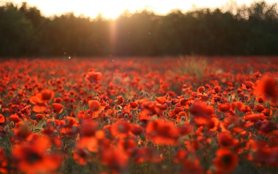 Wallpaper Red poppies, flowers field, sun rays