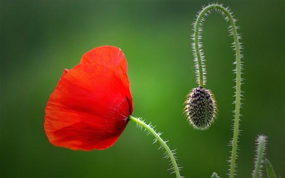 배경 화면 빨간 양 귀 비 꽃, 꽃잎