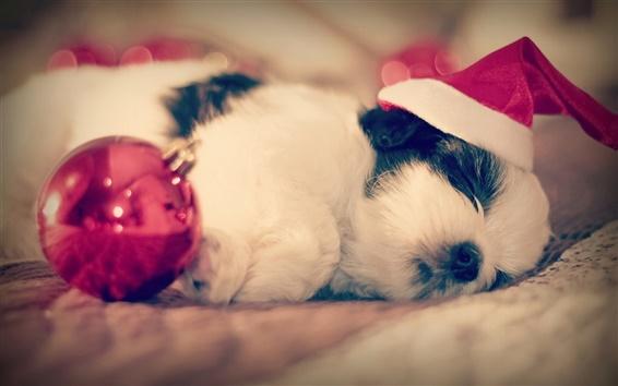 Papéis de Parede Shih Tzu, cão dormir, Natal
