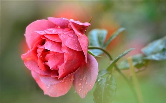 Papéis de Parede O único vermelho levantou flor, gotas da água