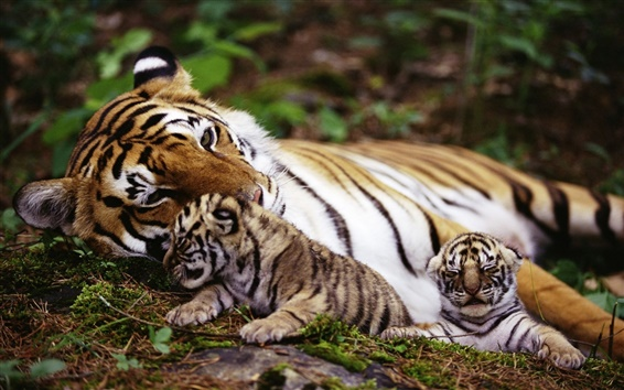 Обои тигр мать с медвежатами