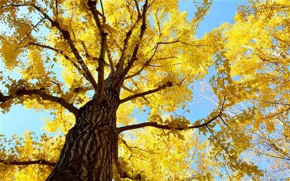 壁紙 木、トランク、空、黄色の葉、秋
