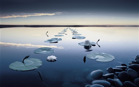 Wallpaper Water lilies, flowers, evening, quiet lake