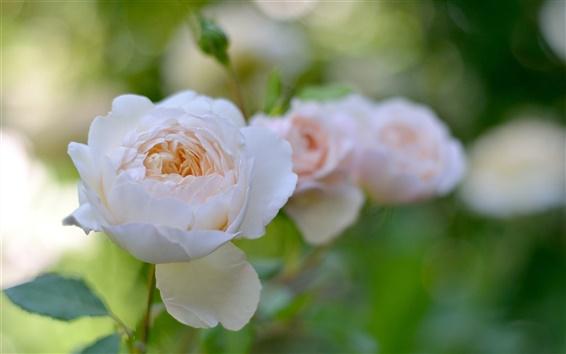Wallpaper White rose flowers, garden