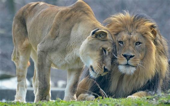 Papéis de Parede Amor, leão e leoa do animal