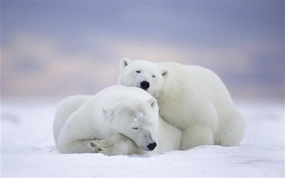 Обои Арктический Национальный заповедник дикой природы, Аляска, полярные медведи семьи, заснуть
