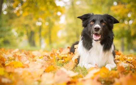 Wallpaper Autumn, dog, leaves