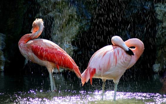 Wallpaper Birds close-up, flamingos, water, splash