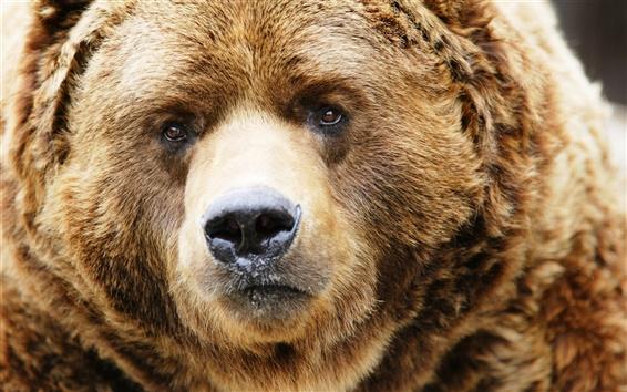 Обои бурый медведь лицо крупным планом, нос, глаза
