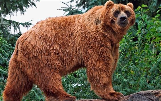 Papéis de Parede Urso marrom olhar para trás