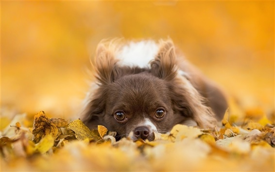 Wallpaper Chihuahua dog, gray puppy, eyes, leaves, autumn