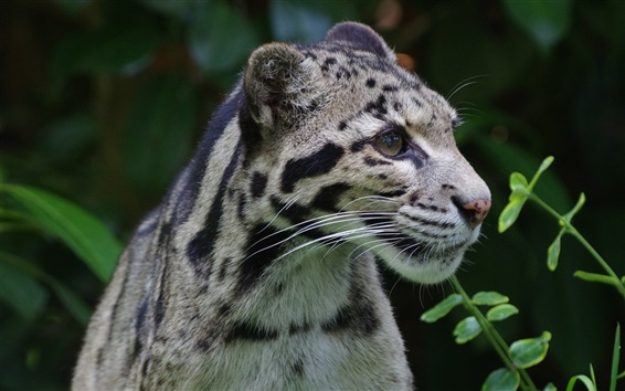 Wallpaper Clouded leopard, wild cat, predator