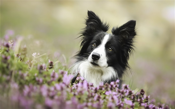 Wallpaper Cute dog, border collie, eyes, flowers