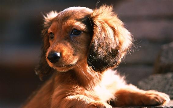 Wallpaper Dachshund dog, puppy, sun