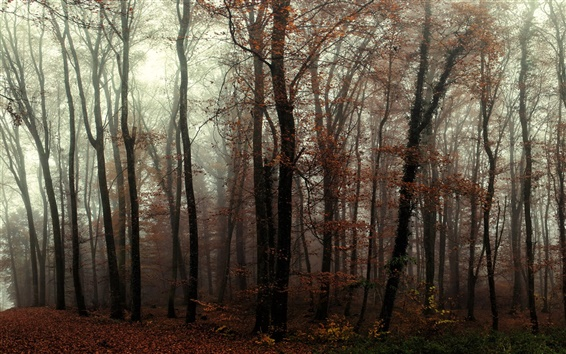 Wallpaper Forest, trees, mist, autumn
