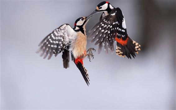 Papéis de Parede Grande woodpecker manchado, dois pássaros