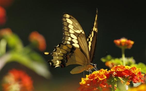 壁紙 昆虫、蝶、オレンジ色の花