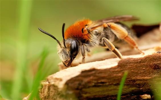 Wallpaper Insect macro, bee, grass, bokeh