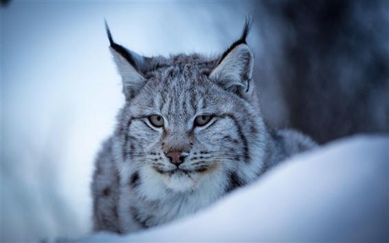 壁紙 オオヤマネコ、野生の猫、顔、雪、冬