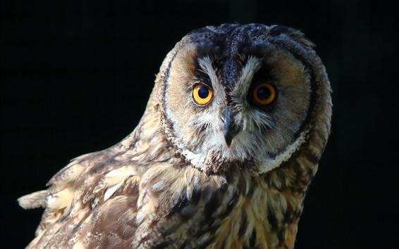 Wallpaper Owl close-up, black background