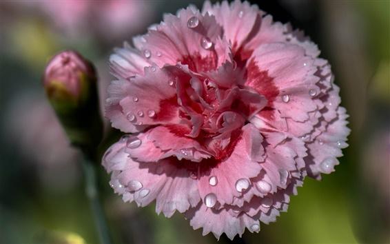 Papéis de Parede Cravo rosa, pétalas, orvalho
