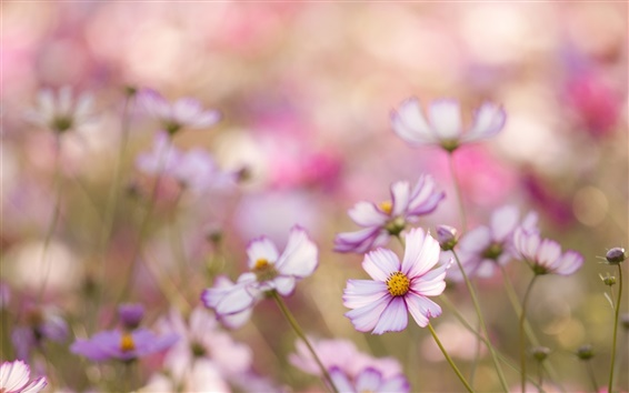 Обои Розовые цветы kosmeya, боке