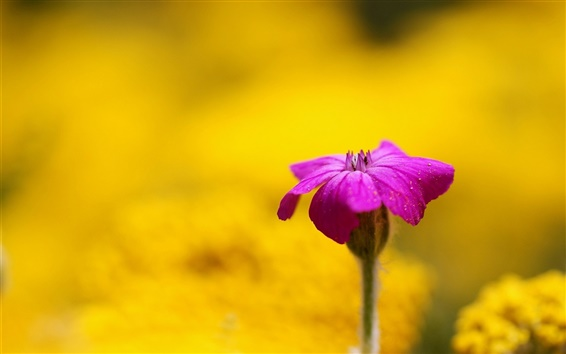 Fond d'écran Fleur pourpre, fond jaune, flou