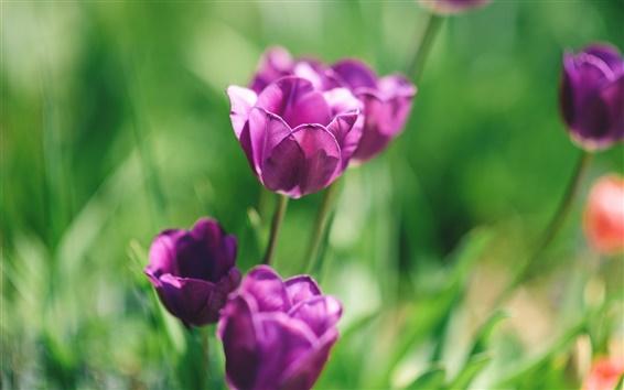 Обои Фиолетовые цветы, тюльпаны, зеленый фон