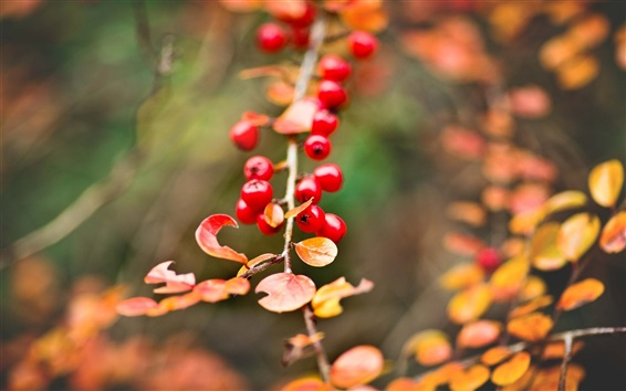 배경 화면 빨간 열매, 노란 단풍, 가을, 나뭇잎