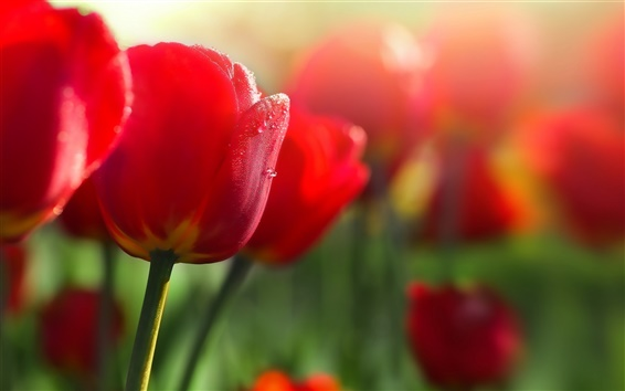 Wallpaper Red flowers, tulips, dew