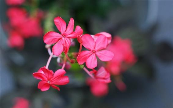 Wallpaper Six petals flowers, red, bokeh