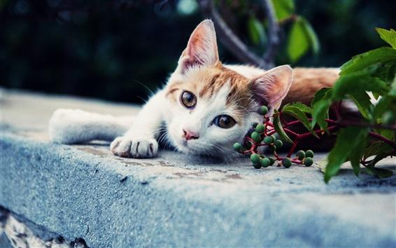 Wallpaper White brown cat, look, green berries