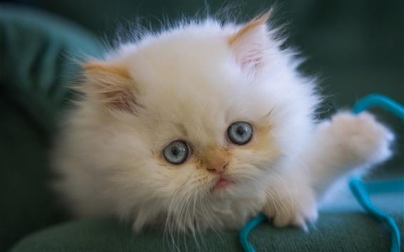 Обои Белый котенок, пушистый, голубые глаза