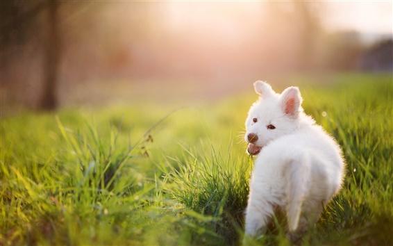 Papéis de Parede Filhote de cachorro branco, cão, grama, verão, raios de sol