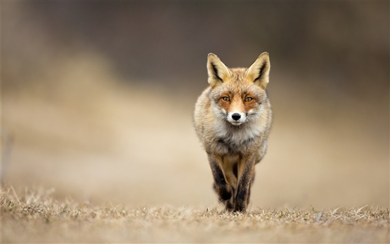 Wallpaper Animal fox front view