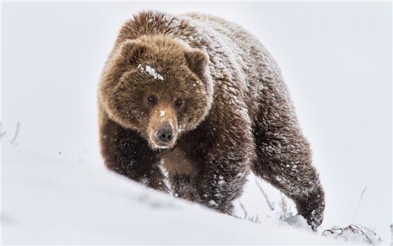 壁紙 クマ、ブラウン、雪