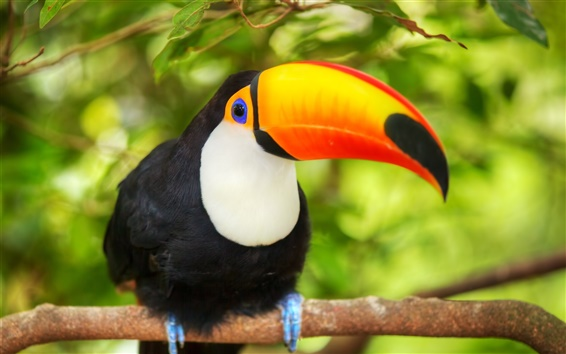 Wallpaper Bird close-up, toucan, branches