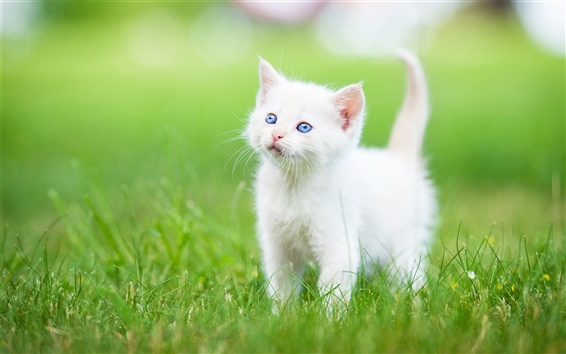 Wallpaper Blue eyes white kitten, grass