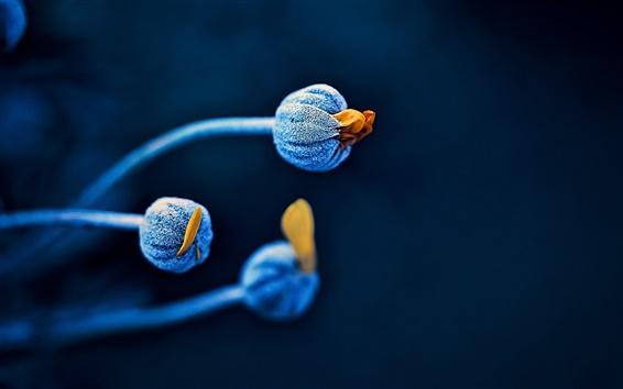 Wallpaper Flower buds, blue, black background