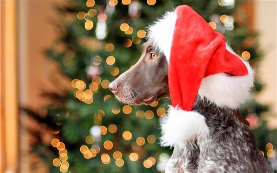 Обои Немецкий короткошерстный собака, Red Hat, Рождество, яркий свет