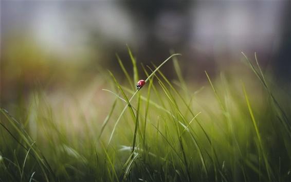Wallpaper Grass, leaves, ladybug, bokeh