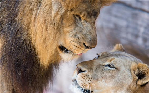 Wallpaper Lion, lioness, love, couple