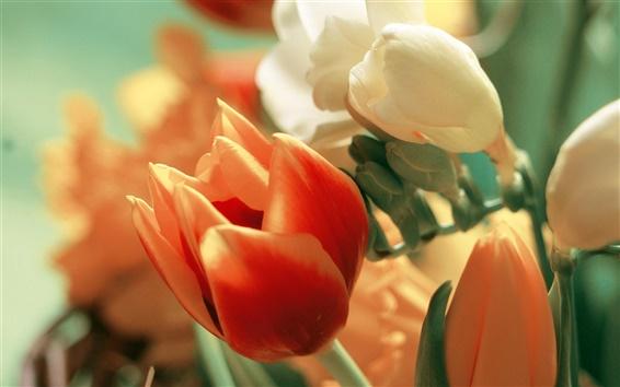 Обои Оранжевый и белый тюльпан цветы, лепестки