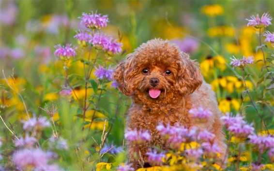 Wallpaper Poodle, puppy, flowers