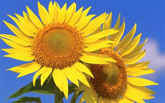 Wallpaper Sunflowers, petals, blue sky